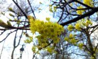 inflorescência de bordo-da-noruega, ácer-plátano - Acer platanoides