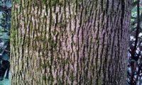 aspecto do tronco de bordo-da-noruega, ácer-da-noruega - Acer platanoides