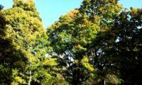 hábito de bordo-da-noruega, ácer-da-noruega, ácer-plátano - Acer platanoides