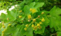 flores com estames e discos nectaríferos visíveis de bordo-comum, ácer-comum, ácer-menor, ácer-silvestre - Acer campestre