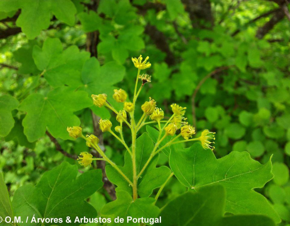 corimbo erecto de flores amarelas de bordo-comum, ácer-comum, ácer-menor, ácer-silvestre - Acer campestre