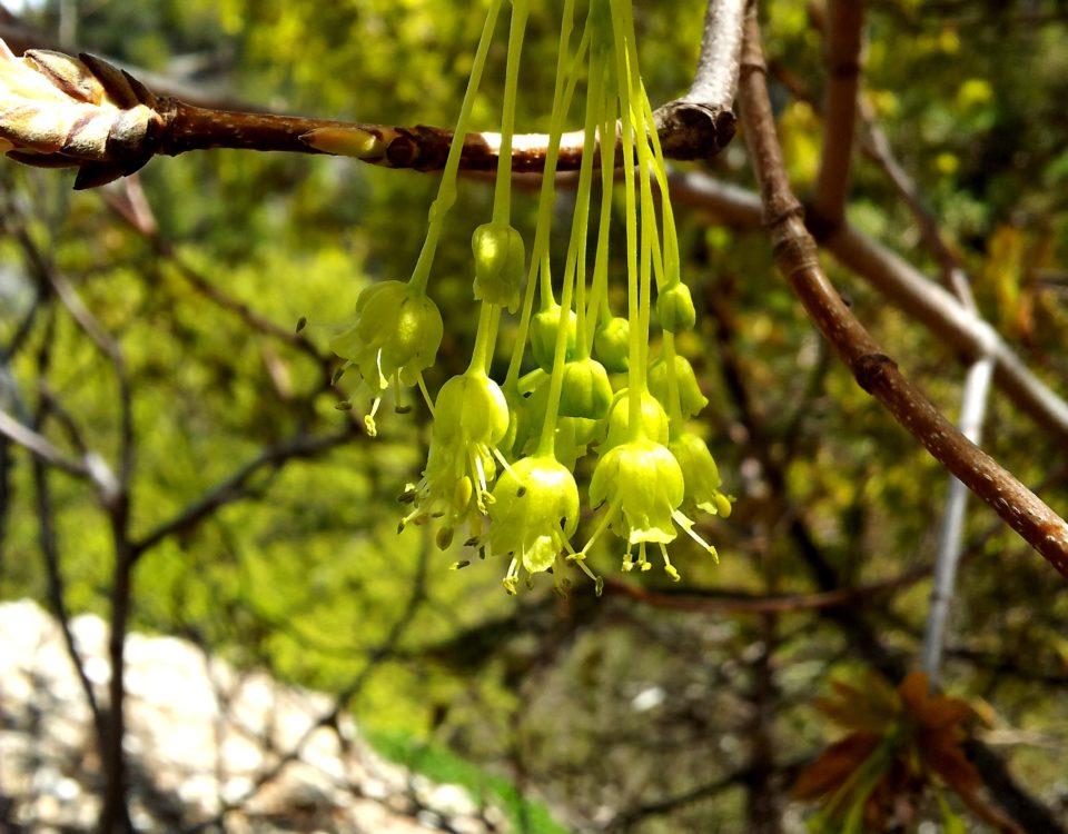 inflorescências amarelada, pendentes de bordo-de-granada - Acer opalus