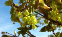 flores verde-amarelo de bordo-de-granada - Acer opalus