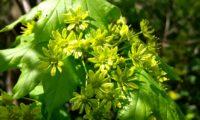 flores e folheação de bordo-da-noruega - Acer platanoides
