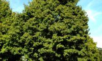 hábito isolado de bordo-comum, ácer-comum, ácer-menor, ácer-silvestre - Acer campestre