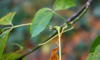 gomos pubescentes, pequenos, com dois a três pares de escamas, brancos ou algo cinzento-claro de bordo-negundo - Acer negundo