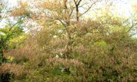 hábito outonal, folhas amareladas de bordo-negundo - Acer negundo