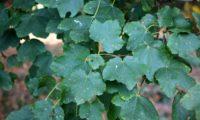 conjunto de folhas de bordo-de-granada - Acer opalus