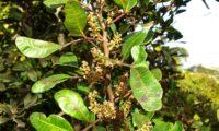 flores masculinas abortadas de aroeira - Pistacia lenticus