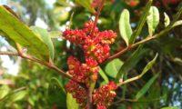 cachos de flores masculinas de aroeira - Pistacia lenticus