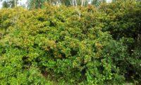 sebe constituida por aroeiras em frutificação - Pistacia lenticus
