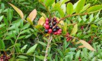 cacho de frutos imaturos e maduros de aroeira - Pistacia lenticus