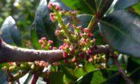flores femininas em espiga de aroeira - Pistacia lenticus