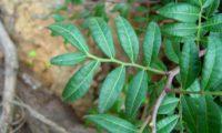 folhas compostas com ráquis alados, aroeira - Pistacia lenticus