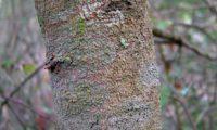 ritidoma jovem, levemente fissurado de aroeira - Pistacia lenticus