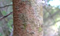 ritidoma jovem lenticelado de aroeira - Pistacia lenticus