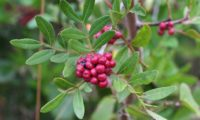 bagas imaturas e ramalhete de folhas de aroeira - Pistacia lenticus