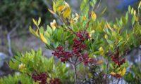 frutos imaturos de aroeira - Pistacia lenticus