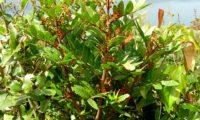 espiga de flores femininas vermelho-esverdeadas da aroeira - Pistacia lenticus