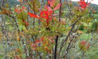 flores masculinas e folhas primaveris avermelhadas de terebinto - Pistacia terebinthus