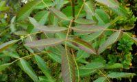 ramalhete de folhas juvenis de cornalheira, terebinto - Pistacia terebinthus