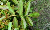 folha composta com número sempre ímpar de folíolos, de cornalheira ou terebinto - Pistacia terebinthus