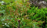 inflorescência feminina de cornalheira, terebinto - Pistacia terebinthus