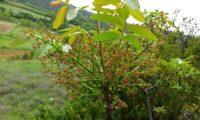 panículas de flores femininas de cornalheira, terebinto - Pistacia terebinthus