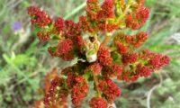 inflorescências masculinas vistas de cima, com folhas por desabrochar de cornalheira, terebinto - Pistacia terebinthus
