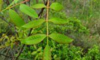 folha de cornalheira ou terebinto, composta por 9 folíolos - Pistacia terebinthus