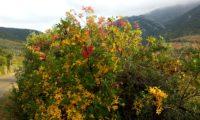 hábito outonal de cornalheira - Pistacia terebinthus