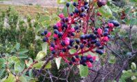 cachos de frutos parcialmente maduros (cor negro-azul) de cornalheira ou terebinto - Pistacia terebinthus