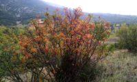 cores outonais de terebinto - Pistacia terebinthus