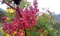 frutos de cornalheira ou terebinto - Pistacia terebinthus