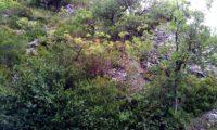 terebinto, no seu meio natural - Pistacia terebinthus