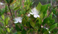 Flores de murta, murta-das-noivas, flor-do-noivado, murta-do-jardim, murta-cheirosa, murta-ordinária, murta-comum, com numerosos e compridos estames - Myrtus communis