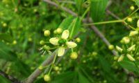 flor regular de evónimo, fuseira, barrete-de-padre - Euonymus europaeus
