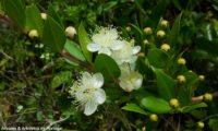 Flores e botões de murta, murta-das-noivas, flor-do-noivado, murta-do-jardim, murta-cheirosa, murta-ordinária, murta-comum - Myrtus communis