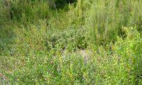murta, murteira, gorreiro, mata-pulgas, murta-das-noivas, flor-do-noivado, no meio natural - Myrtus communis