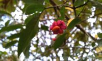 fruto de evónimo, fuseira, barrete-de-padre, com semente laranja pendente - Euonymus europaeus