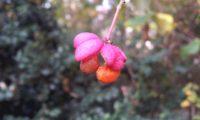 fruto de evónimo, fuseira, barrete-de-padre, com sementes laranja pendentes - Euonymus europaeus