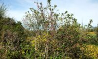 hábito de evónimo, fuseira, barrete-de-padre em frutificação - Euonymus europaeus