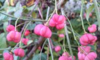 frutos fúchsia, pendentes de evónimo, fuseira, barrete-de-padre - Euonymus europaeus