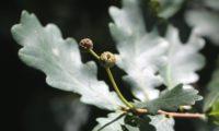 bolotas em formação de carvalho-alvarinho, roble - Quercus robur