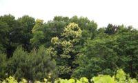 floração de castanheiro, orla de bosque - Castanea sativa