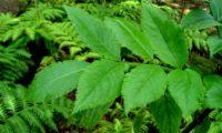 Página superior composta, imparipinulada de abugueiro madeirense - Sambucus lanceolata