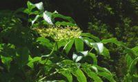 Corimbo no início da frutificação, sabugueiro madeirense - Sambucus lanceolata
