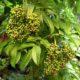 Corimbos de frutos em maturação, sabugueiro madeirense - Sambucus lanceolata