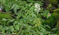 Corimbos em flor e no início da frutificação, drupas imaturas, sabugueiro madeirense - Sambucus lanceolata