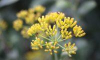 umbela de frutos, ou aquénios de beleza, mata-boi - Bupleurum fruticosum
